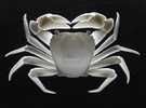 Articulated Crab (Pachygrapsus crassipes) in White Strong & Flexible