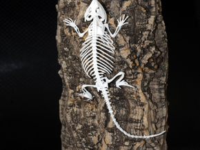 Bearded Dragon Skeleton - 6 Inches in White Natural Versatile Plastic