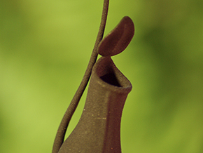 Pitcher Plant  Nepenthes  in White Processed Versatile Plastic
