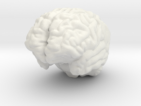 Human Brain in White Natural Versatile Plastic
