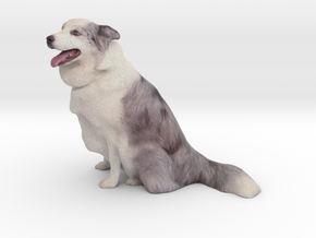 Blue Merle Border Collie 001 in Full Color Sandstone