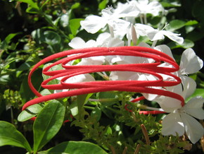 Conchoid 2 Bangle in Red Strong & Flexible Polished