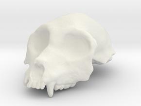 Aegyptopithecus zeuxis Cranium (1:1 Scale) in White Natural Versatile Plastic