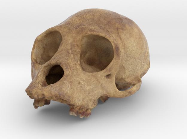 PrimA001 - Cranium Unknown species in Full Color Sandstone