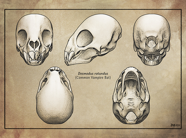 Vampire Bat Skull 3d printed Print available from Zazzle (link below)