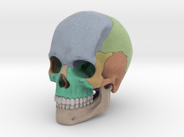 Artist Sculpted Skull For Reference