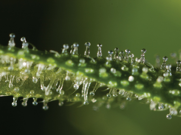 Cannabis Trichome Earrings - Nature Jewelry 3d printed Photo of cannabis trichomes