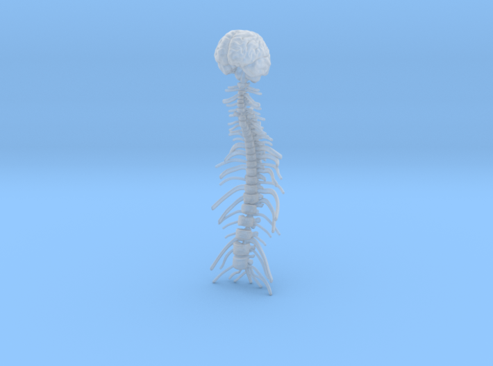 1/18 Brain and Spine 3d printed
