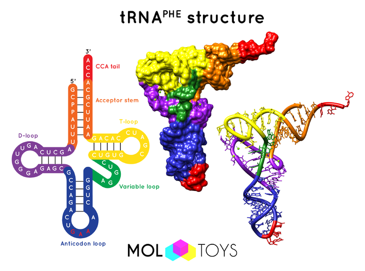 Transfer RNA - 10 Million X 3d printed Three structural representations of tRNA: cloverleaf structure, molecular surface and ribbon