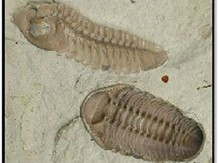The Trilobite 3d printed Two different species fossilized in the same tiny section of rock