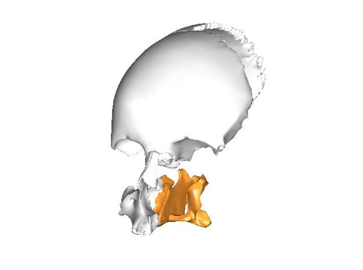 Palatines and Vomer Bone Ornament 3d printed Location of the Vomer bone in your face