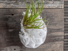 Bulbophyllum Plurispora Planter 3d printed Tillandsia species: T. dura