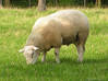 7mm Scale Sheep Grazing X 64 3d printed Model sheep are based on this type of sheep