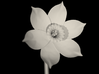 Narcissus Flower 3d printed