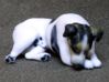 Laying Jack Russell Terrier 4 3d printed